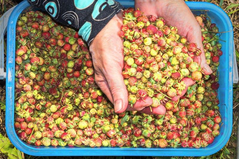 Le mani delle donne spalmate di fragole appena raccolte della foresta del succo fotografie stock