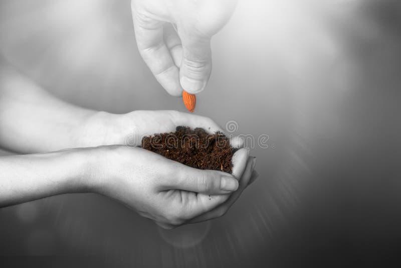 Le mani delle donne tengono la terra fertile in cui le mani degli uomini mettono il grano Il concetto di IVF, di fertilità e dell immagine stock libera da diritti