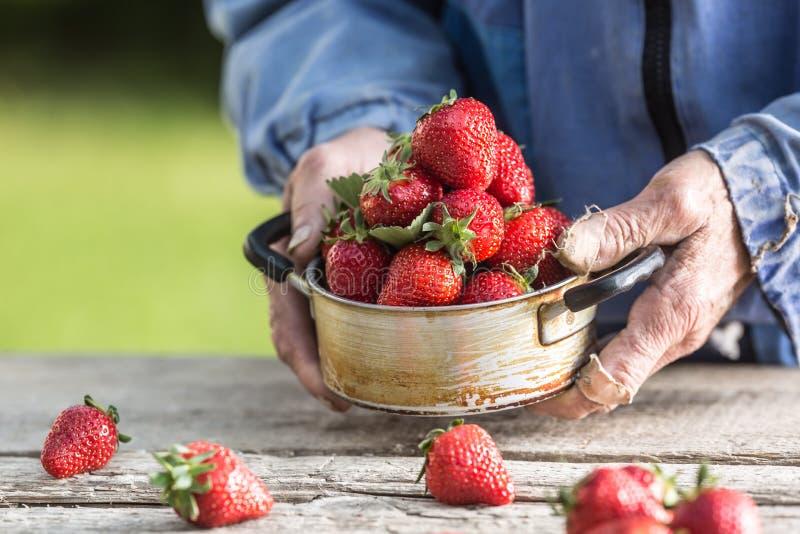 Le mani di Farme tengono un vecchio vaso della cucina in pieno delle fragole mature fresche fotografie stock libere da diritti