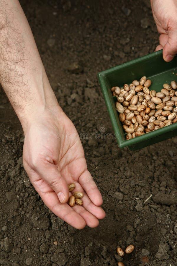 Le mani di un uomo piantano i fagioli marroni nella terra Piantatura dei fagioli fotografia stock