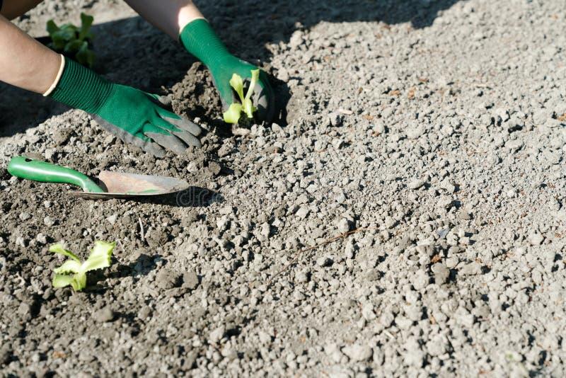 Le mani femminili che indossano i guanti verdi che piantano le giovani piante della lattuga in un giardino appena preparato inser immagini stock libere da diritti