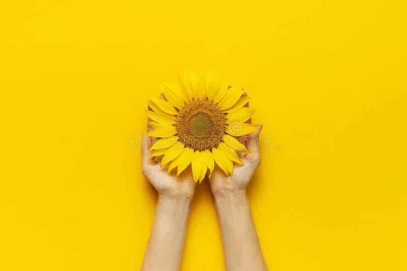Le mani femminili tengono il bello girasole fresco su fondo giallo luminoso Spazio piano della copia di vista superiore di dispos fotografia stock libera da diritti