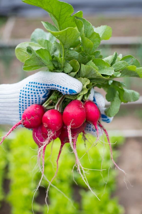 Le mani maschii tengono i ravanelli rossi maturi fotografia stock