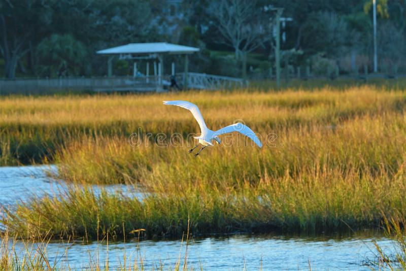Le marais d'île est à la maison à beaucoup de genres d'oiseaux, y compris le héron de Great White images stock