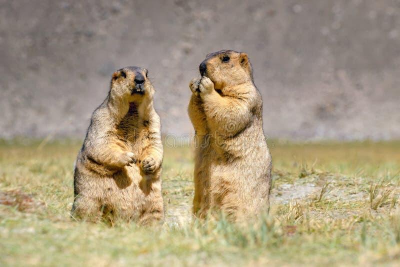 Le marmotte himalayane accoppiano la condizione nel pascolo aperto, Ladakh, India fotografia stock libera da diritti