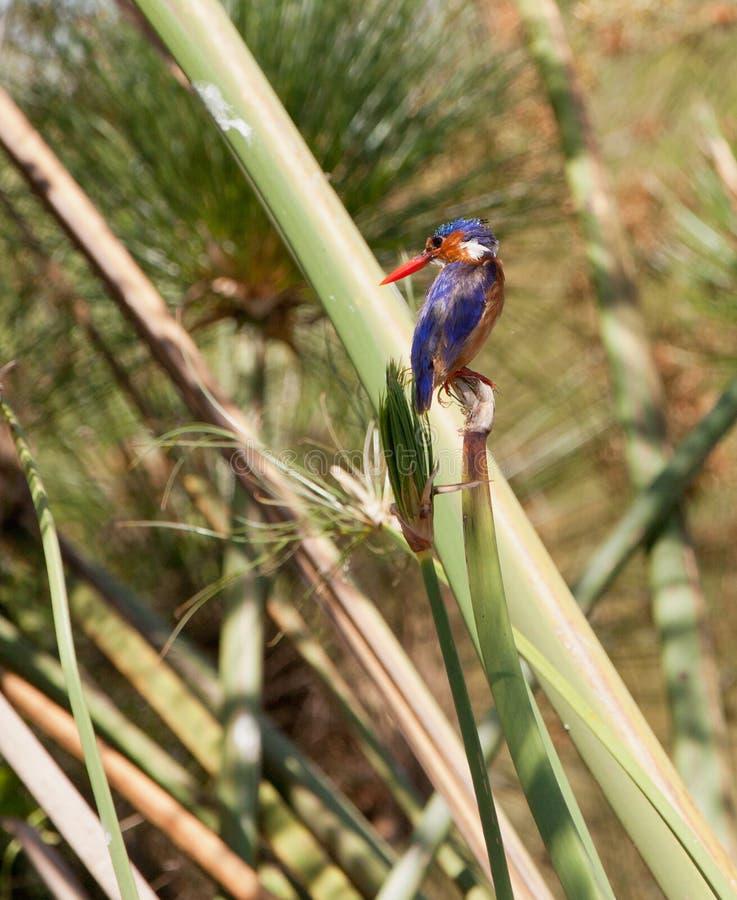 Le martin-pêcheur de malachite photo libre de droits