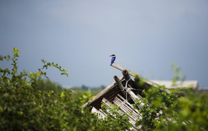 le martin-pêcheur Noir-couvert est un martin-pêcheur d'arbre qui est largement distribué en Asie tropicale d'est d'Inde en Chine, images libres de droits