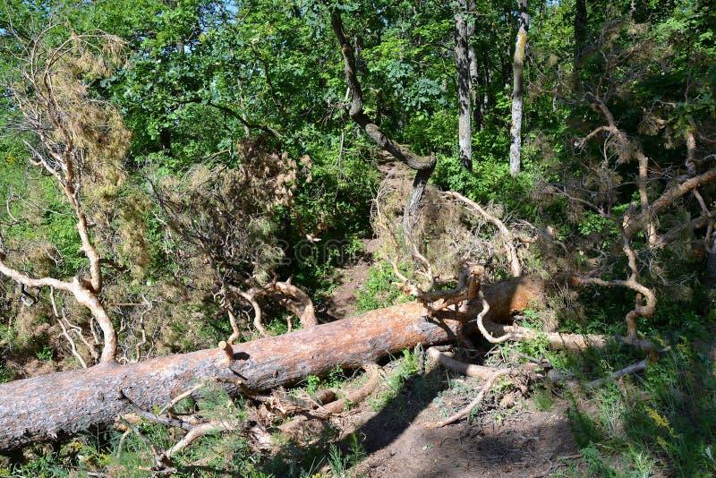 Le mauvais temps a abattu un pin dans la forêt mélangée dense images stock