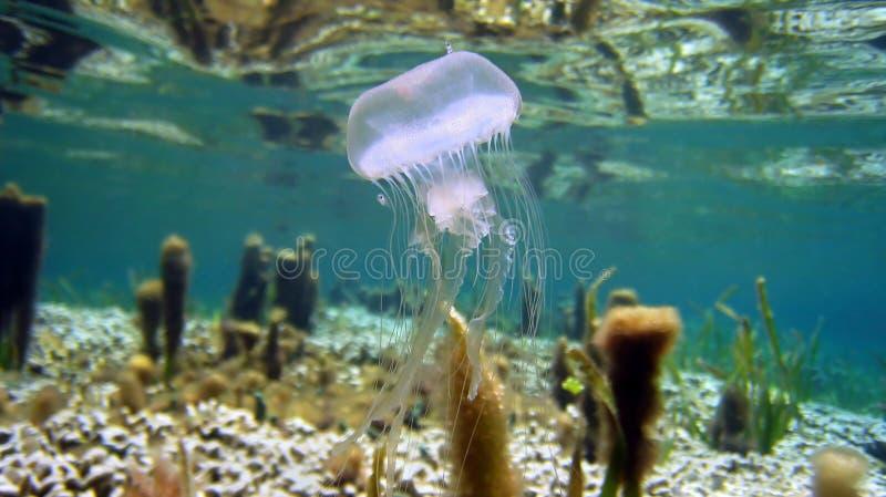Le meduse Warty si avvicinano alla superficie dell'acqua immagini stock