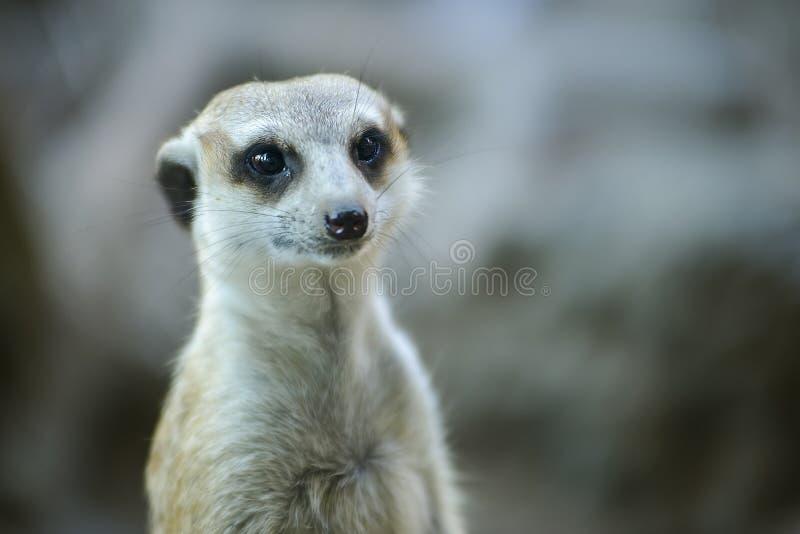 Le Meerkat image stock
