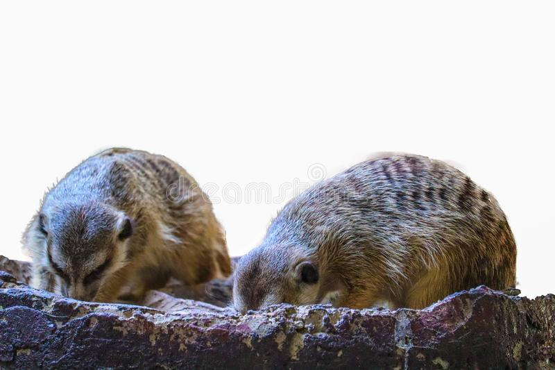 Le Meerkat mignon d'isolement image stock