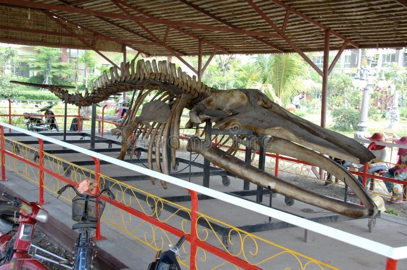 Le megladon d'os de dinosaure, a trouvé dans la boue sur les banques du Mekong photographie stock libre de droits