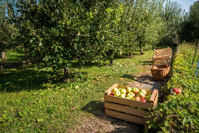 Le mele organiche fresche sono in cassa di legno il giorno del raccolto fotografia stock
