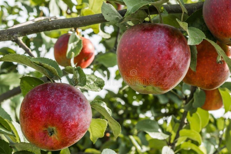 Le mele rosse naturali su un fondo di fogliame verde, parte di di melo si sono accese da luce solare, fondo della natura immagini stock libere da diritti