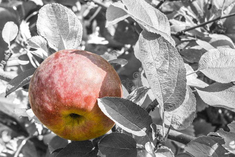 Le mele rosse naturali su un fondo di fogliame verde, parte di di melo si sono accese da luce solare, fondo della natura fotografia stock libera da diritti