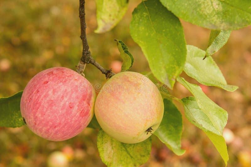 Le mele sull'albero fotografie stock