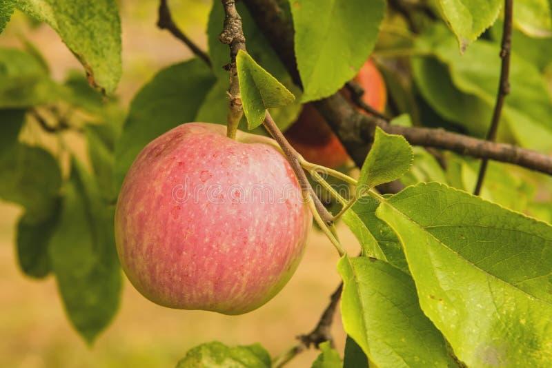 Le mele sull'albero fotografia stock