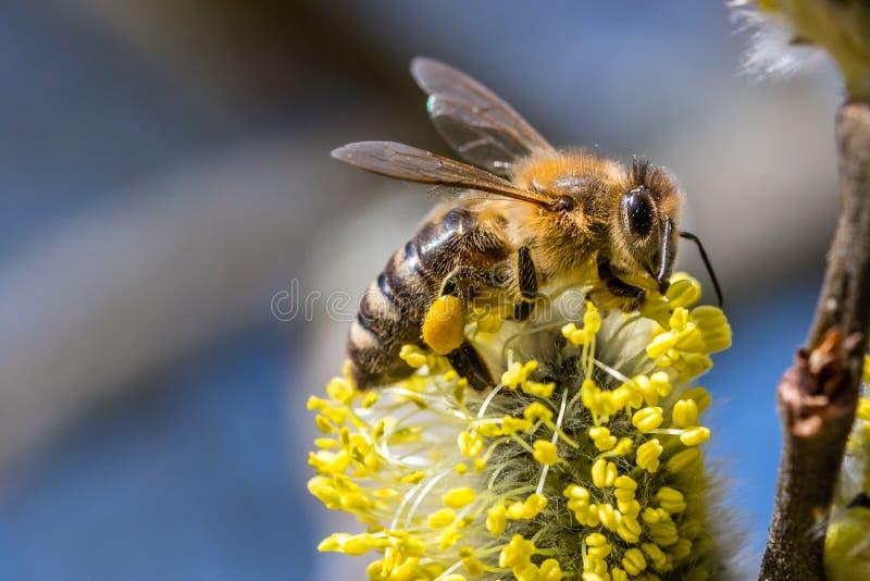 Le mellifera d'api d'abeille de miel pollinisant la fleur jaune de la chèvre va le faire photo libre de droits