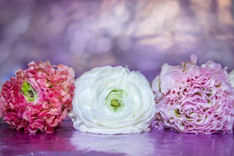 Le mensonge de têtes de Ranunculus blanches, rose et lilas floral de couleur dans une rangée sur une violette douce a brouillé le photos libres de droits