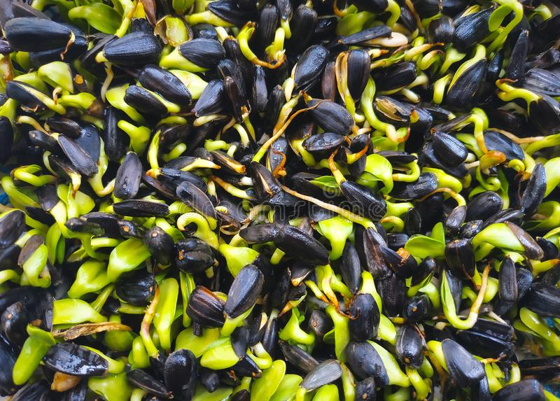 Le micro frais verdit le plan rapproch? Pousses croissantes de tournesol pour la salade saine photos stock