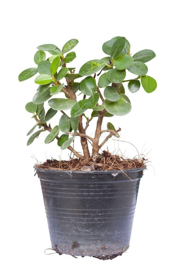 Le microcarpa de ficus dans le pot en plastique ont la poussière sur les feuilles d'isolement sur le fond blanc images stock