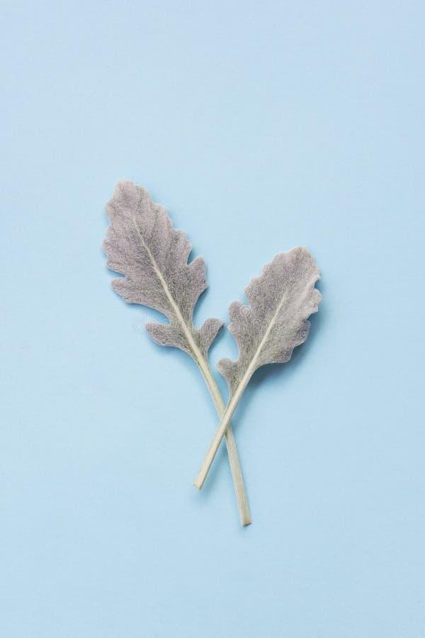Le miller poussiéreux argenté part sur le fond bleu en pastel images stock