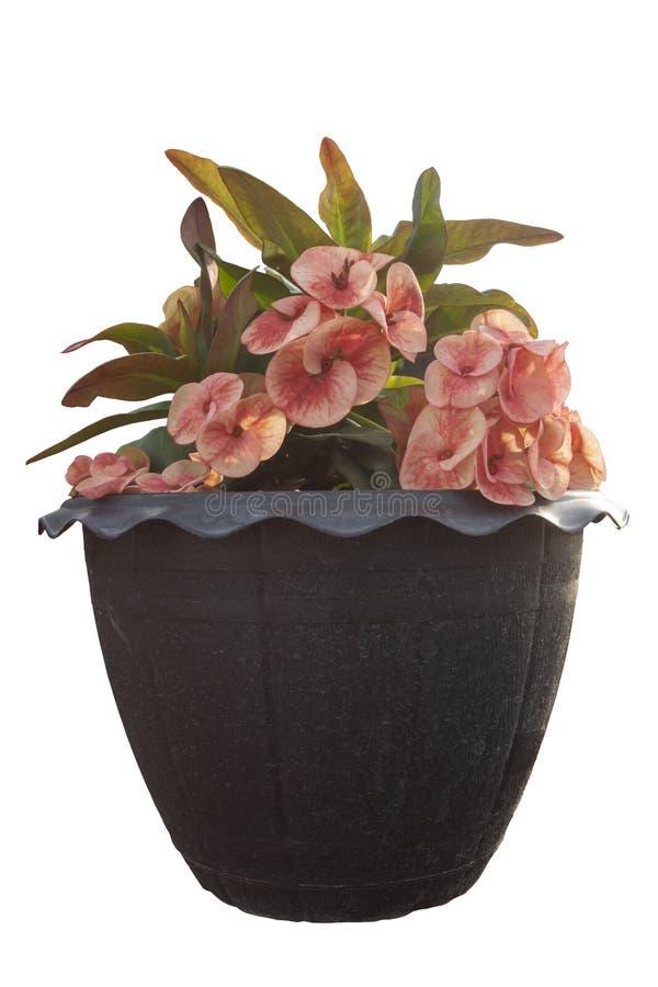Le milli d'euphorbe ou la couronne des épines fleurissent dans le pot en plastique noir image stock