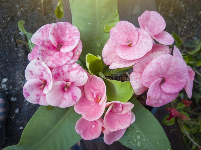Le milli d'euphorbe ou la couronne des épines rose frais fleurissent dans le jardin images libres de droits