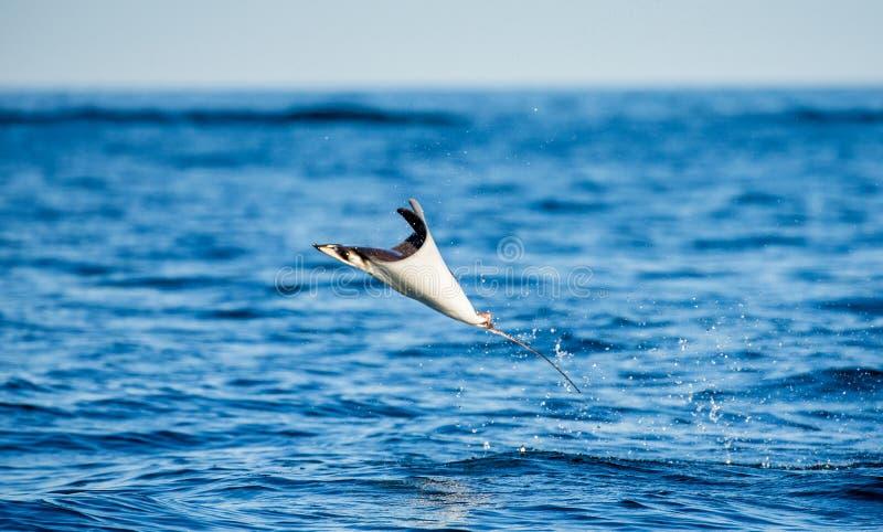 Le Mobula que le rayon est saute de l'eau mexico Mer de Cortez photos libres de droits