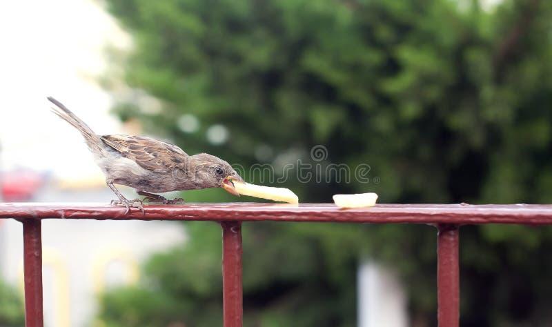 Le moineau affamé mangent des pommes frites image stock