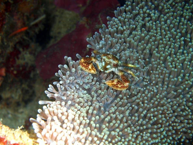 Masquage du petit crabe image stock