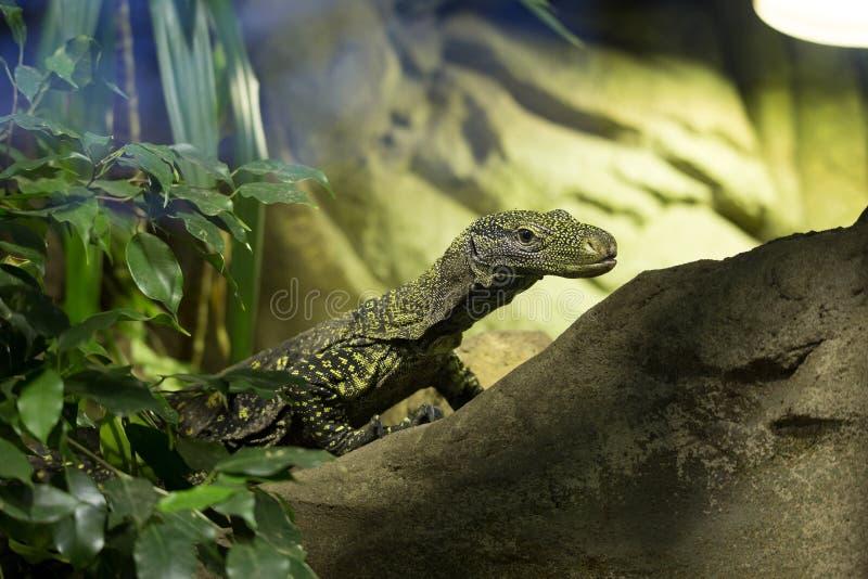 Le moniteur de Salvadori, salvadorii de Varanus est le deuxième plus grand lézard photo stock