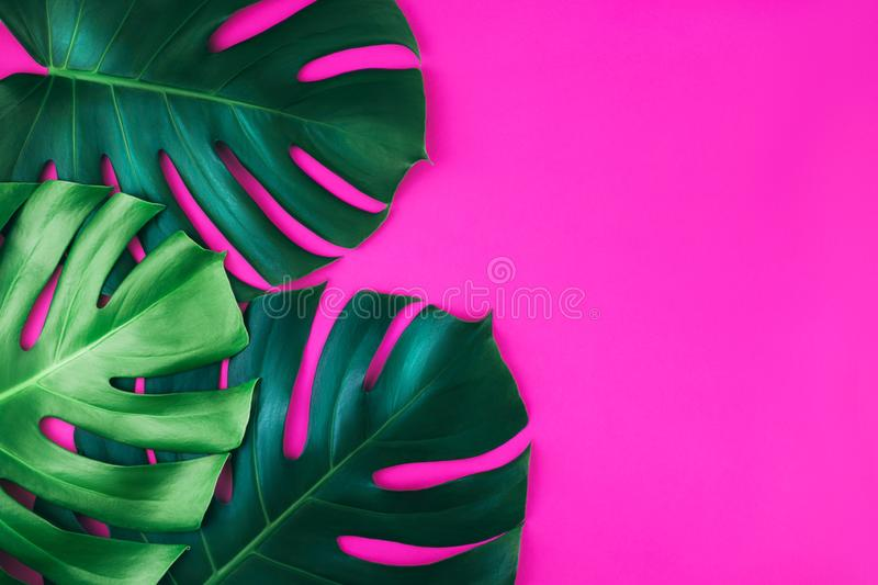 Le monstera tropical de la jungle trois laisse d'isolement sur le fond rose photos libres de droits