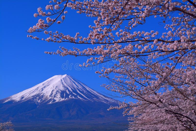 Le mont Fuji et fleurs de cerisier avec le ciel bleu de la ville Japon de Fuji Kawaguchiko images libres de droits