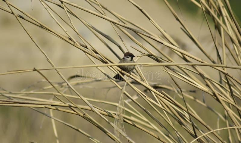 Le montanus de passant est un petit oiseau image libre de droits