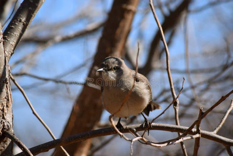 Le moqueur se repose dans l'arbre photos libres de droits