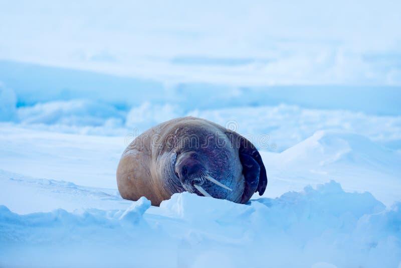 Le morse, rosmarus d'Odobenus, collent de l'eau bleue sur la glace blanche avec la neige, le Svalbard, Norvège Paysage d'hiver av photo stock