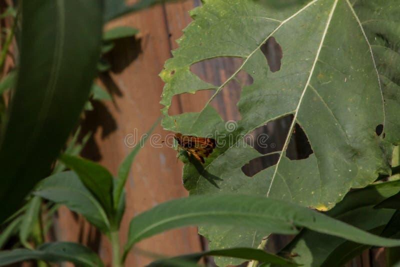 Le Moth Perigea xanthioides au sol rouge sur une grande feuille verte photo stock