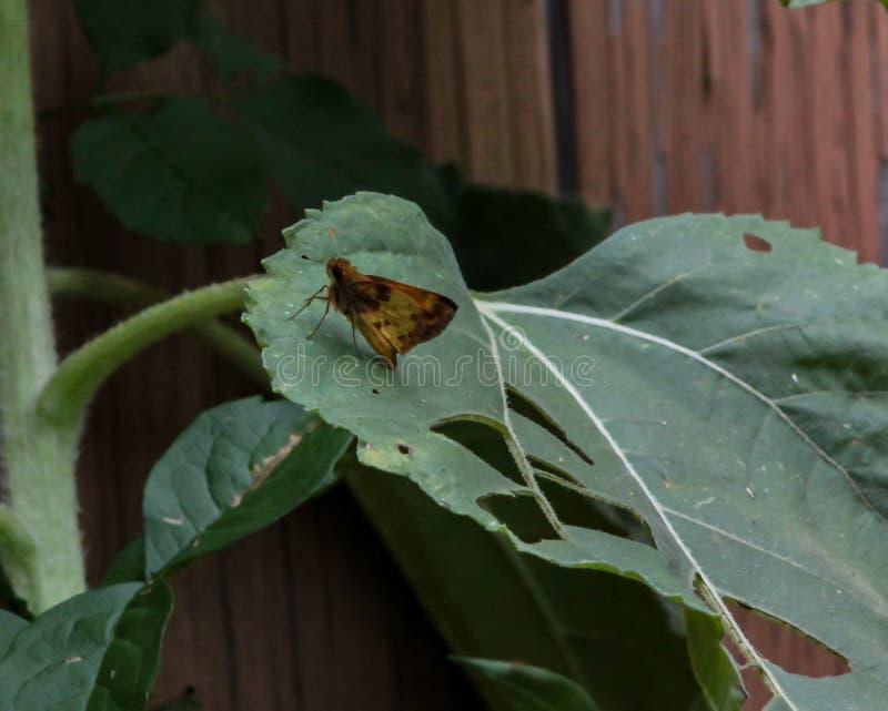 Le Moth Perigea xanthioides au sol rouge sur une grande feuille verte photo libre de droits