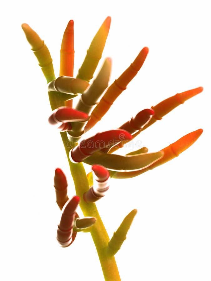 Le moule - fusarium illustration de vecteur