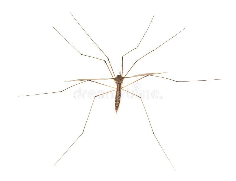 Le moustique. photos libres de droits