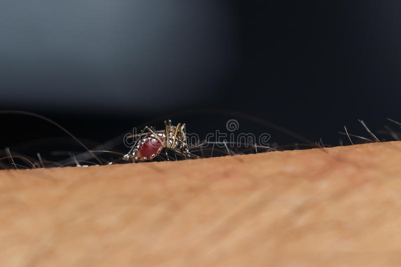 Le moustique suce le sang images libres de droits