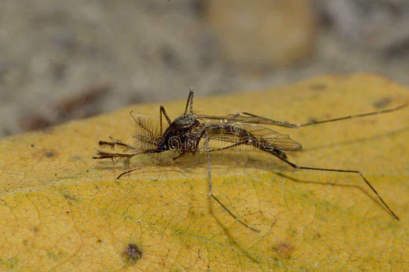 Le moustique sur la feuille jaune photo libre de droits