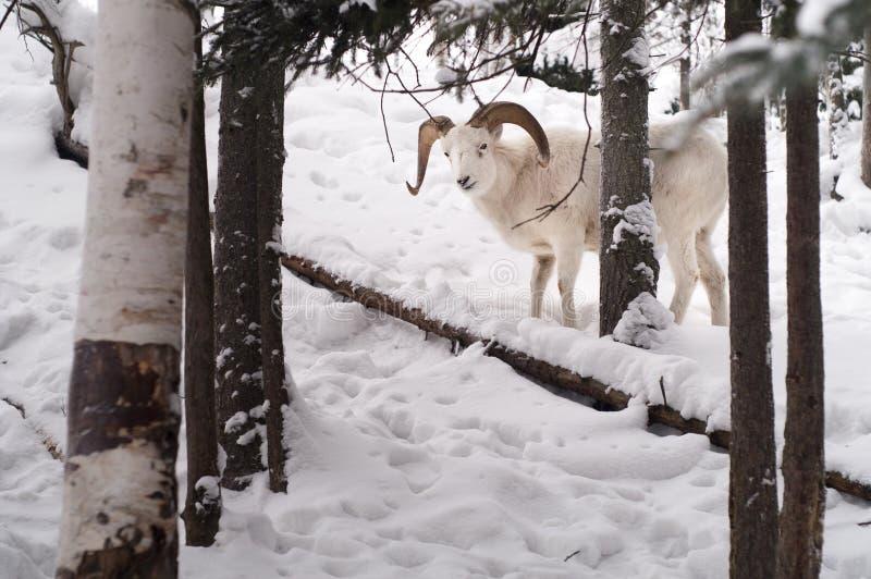 Le mouton de Dall maintient un oeil sur moi dans la chaîne de Chugach de l'Alaska image libre de droits