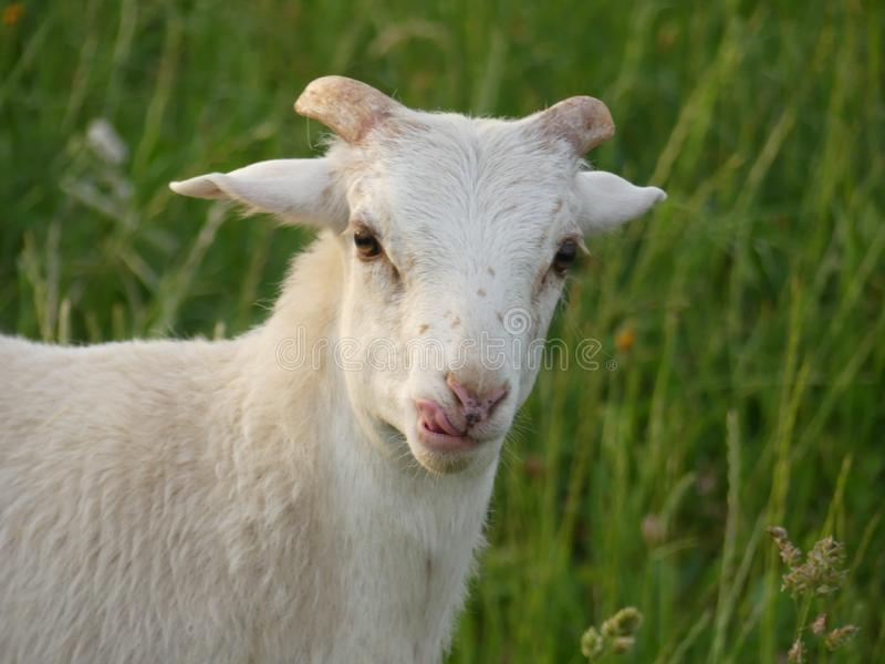 Le mouton de Kamerun lèche des lèvres image libre de droits