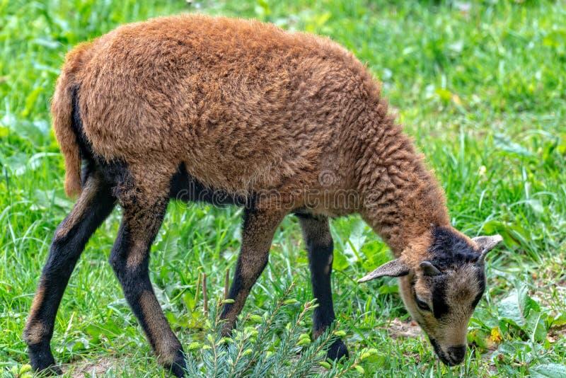 Le mouton du Cameroun frôle dans le pré photo stock