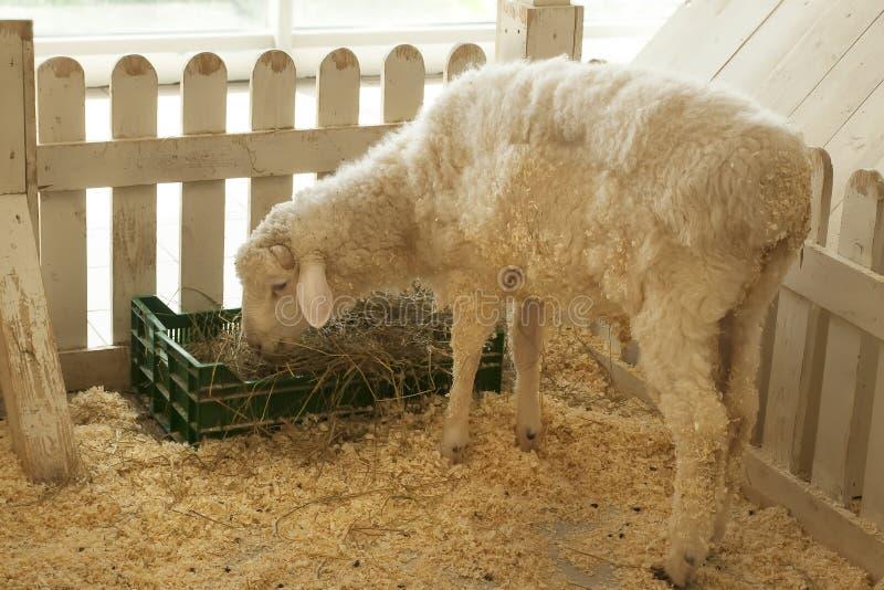 Le mouton mange à l'intérieur de la barrière photo libre de droits