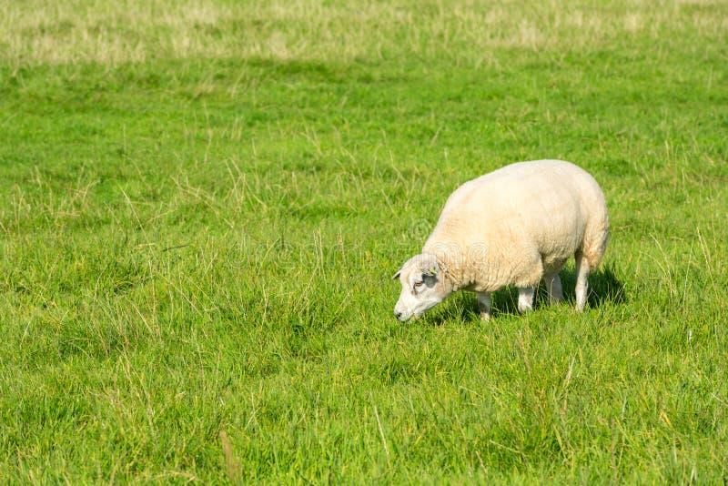Le mouton mange l'herbe verte à la ferme photos stock