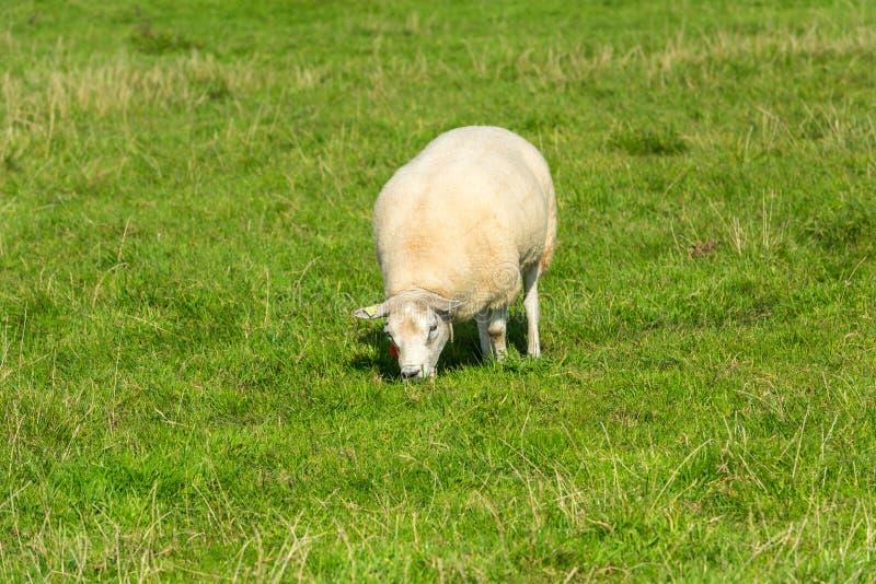 Le mouton mange l'herbe verte à la ferme photos libres de droits