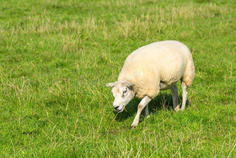 Le mouton mange l'herbe verte à la ferme image libre de droits